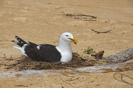 Karoro, the black-backed gull in a nest on the beach photo