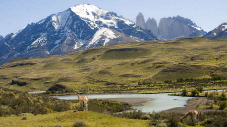 Guanacos in Torres del Paine region live in freedom