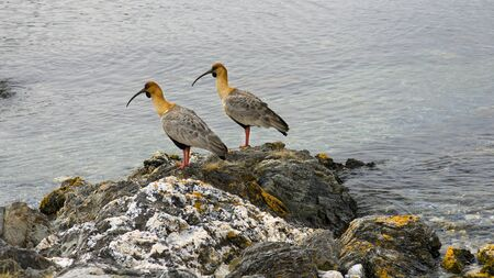 Two black-faced ibises looking in the same direction