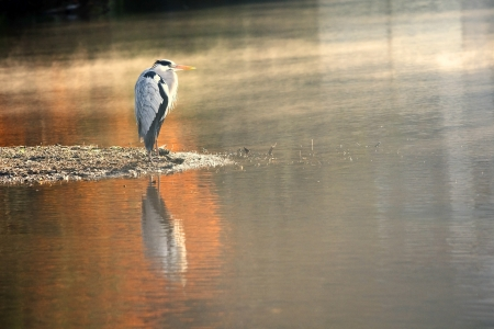 heron: Heron standing over the pond - AUTUMN VIEW