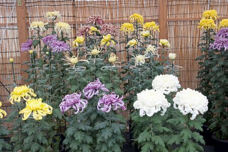 Colourful chrysanthemum collection in shop