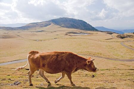 Cow on alpine pasture - view in autumn Stock Photo - 16939592