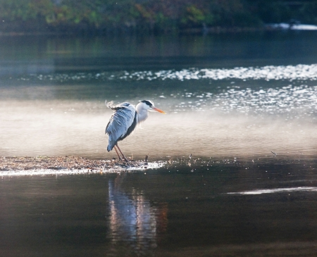 Heron standing over the pond