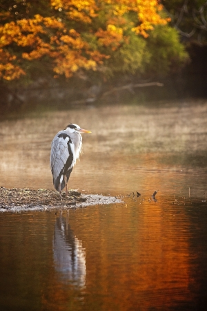 Heron standing over the pond - autumn view photo