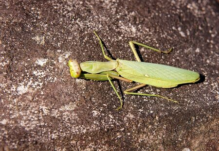 Beautiful big green mantis on a stone Stock Photo