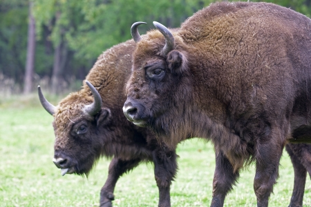 Bison - animals that live in nature reserves in Europe are under the protection of Stock Photo
