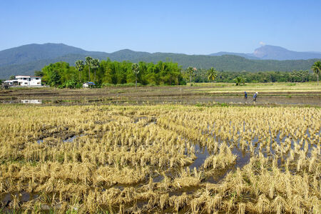 Rice fields during harvest - Thailand photo