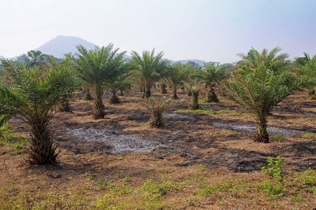 Field cultivation of tropical palm trees in Thailand photo