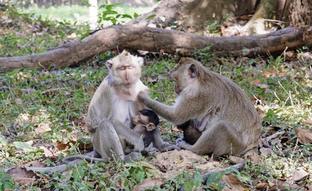 Monkeys in the park near the temple of Angkor Wat photo