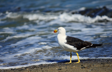 earnest: Greater Black-backed Gull on the beach