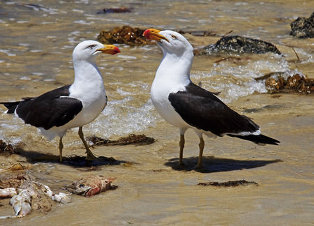 Greater Black-backed Gull on the beach photo