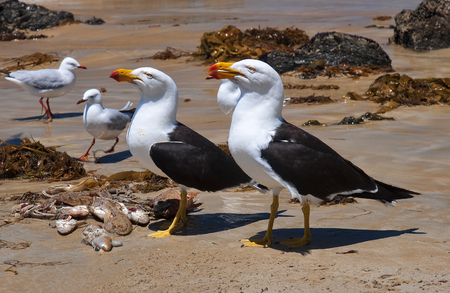 white headed: Greater Black-backed Gull on the beach