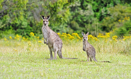 Kangaroos in Australia are looking straight at the foto-camera photo