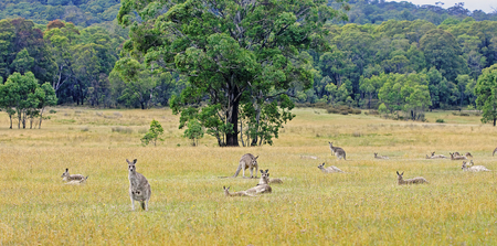 Kangaroos in Australia are looking straight at the foto-camera