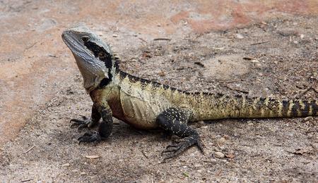 lizard in field: Dragón de agua del este australiano veces visto en las playas de Sydney