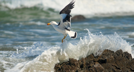 Greater Black-backed Gull on the beach