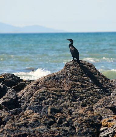 carbo: Great Australian cormorant Phalacrocorax carbo novaehollandiae