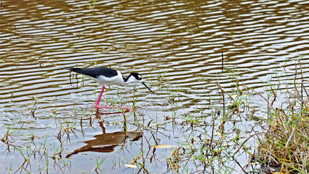 waders: Black-winged Stilt it is quite a frequent wading bird