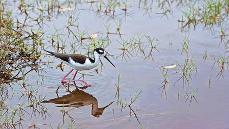 botas altas: Negro-Cig�e�uela com�n que es bastante frecuente una especie de ave