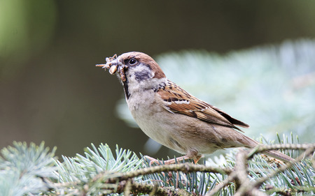 passer by: Eurasian tree sparrow (Passer montanus) with food for their young