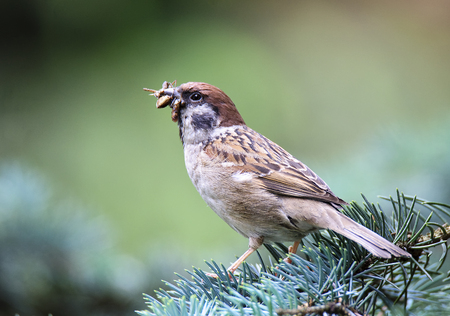 Eurasian tree sparrow (Passer montanus) with food for their young
