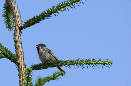 Eurasian tree sparrow (Passer montanus)  on a tree branch Stock Photo