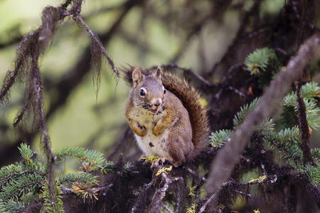 pica: American red squirrel (Pica hudsonia) live in Canada Stock Photo