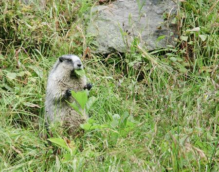 hoary: Hoary marmot (Marmota caligata) live in Canada