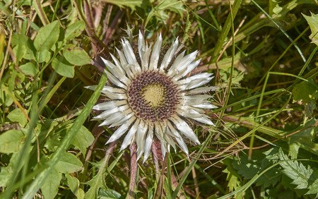 Carline thistle you can meet in alpine meadows