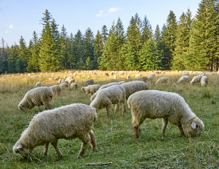 Sheep grazing on a mountain hall in the woods Stock Photo