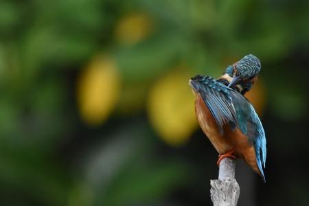 common kingfisher: Common Kingfisher Stock Photo