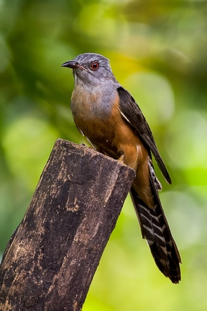 Cuckoo on wooden in park