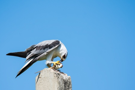 Black Shouldered Kite Фото со стока