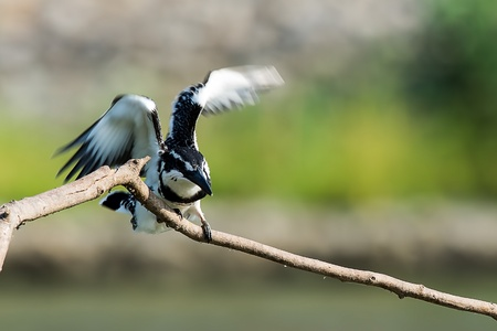 Pied Kingfisher on branch in the river to find something to eat