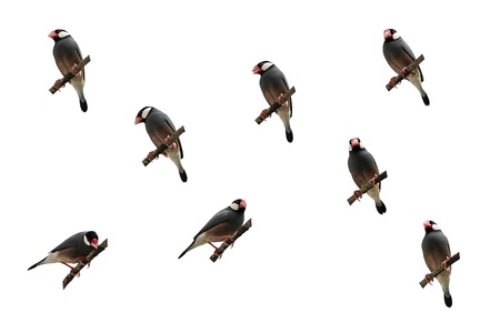 Isolated Java Sparrow action gallery