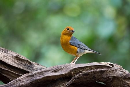 Orange-headed Thrush immigrant to the park in Thailand Stock Photo