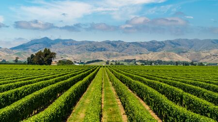Vineyards near Blenheim, New Zealand