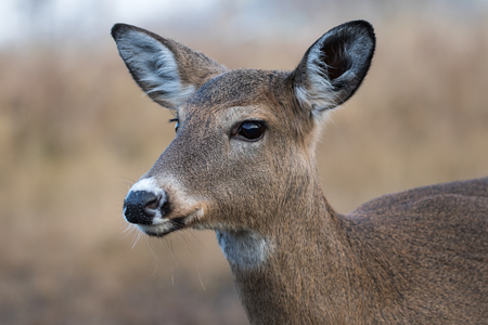 virginianus: White-tailed Deer Female, Odocoileus Virginianus, closeup
