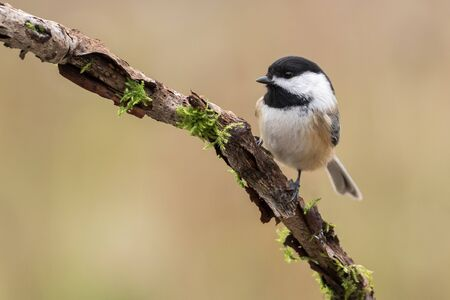 chickadee: Black-capped Chickadee, Poecile Atricapillus, perched on a mossy branch