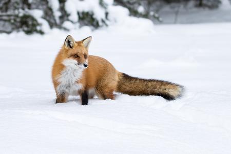 Red Fox, Vulpes Vulpes, w snowy łąki