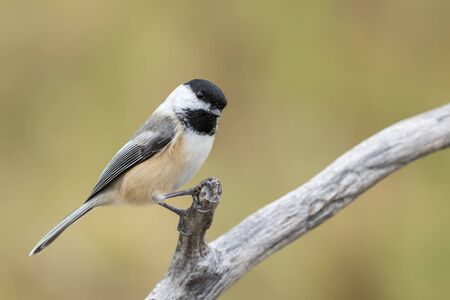 Black-capped Chickadee, Poecile Atricapillus, perched on a branch and making eye contact