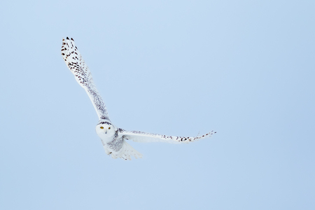 eye contact: Snowy Owl , Bubo Scandiacus, turning in flight and making eye contact.