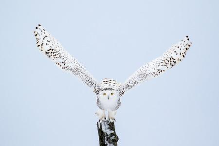 Sneeuwuil, Bubo scandiacus, die vanuit een post met direct oogcontact.