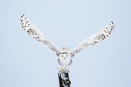 Snowy Owl, Bubo Scandiacus, flying from a post with direct eye contact.