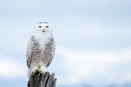 Sneeuwuil, Bubo scandiacus, zat op een post maken oogcontact met het doordringen van gele ogen.