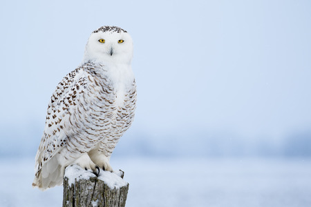Snowy Owl, Bubo Scandiacus, perched on a post making eye contact with piercing yellow eyes. Light snowfall.