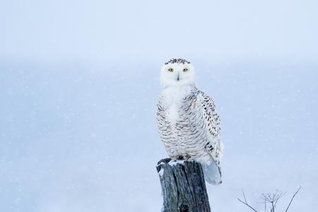 Schnee-Eule, Bubo Scandiacus, umgeben von Schneeflocken, thront auf einem Post Blickkontakt mit piercing gelben Augen.