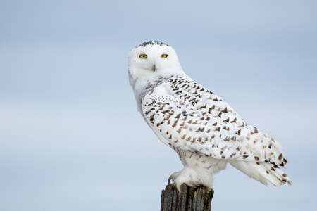 eye contact: Snowy Owl, Bubo Scandiacus, perched on a post making eye contact with piercing yellow eyes.