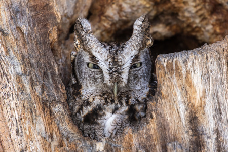 making hole: Eastern Screech-Owl, Megascops asio, perched in a hole of an old dead tree, and making eye contact with a menacing stare. Stock Photo