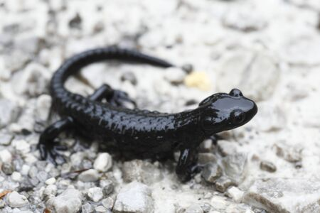 black alps salamander in Europe ,